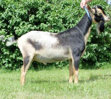 Photo of Candy Crunch (Sire), courtesy of Karmic Acres